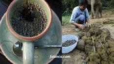 Fil dışkısından dünyanın en pahalı kahvesinin yapımı