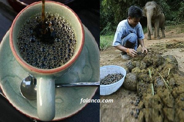 Fil dışkısından dünyanın en pahalı kahvesi