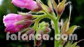 Karakafes bitkisi ve çayı