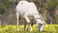 Keçi sütü Ne Kadar Faydalıdır?