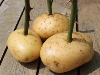 Patatesta Gul Fidesi 2
